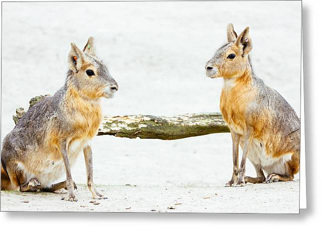 Mara Rodent Animals Greeting Card by Pati Photography