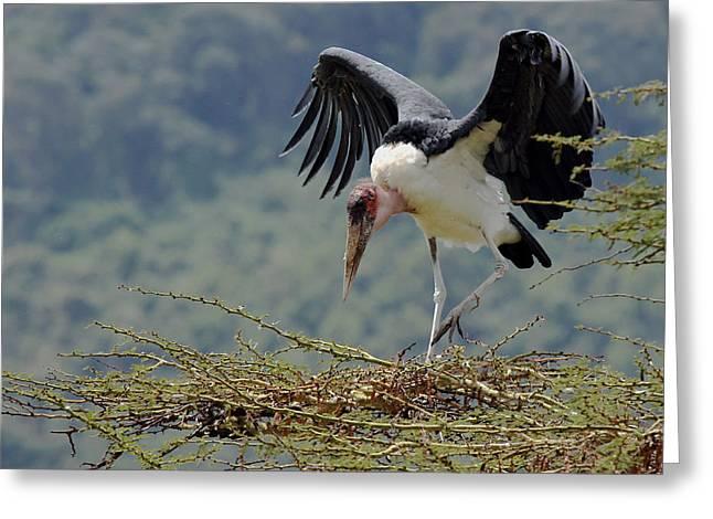 Marabou Stork Greeting Card