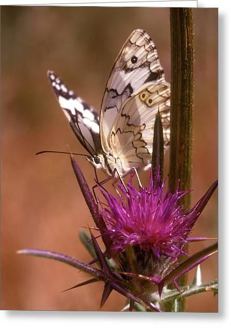 Marble White Melanargia Titea Titania Greeting Card