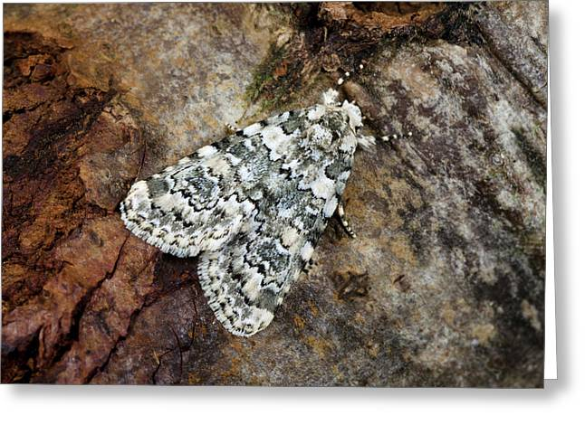 Marbled Beauty Moth Greeting Card