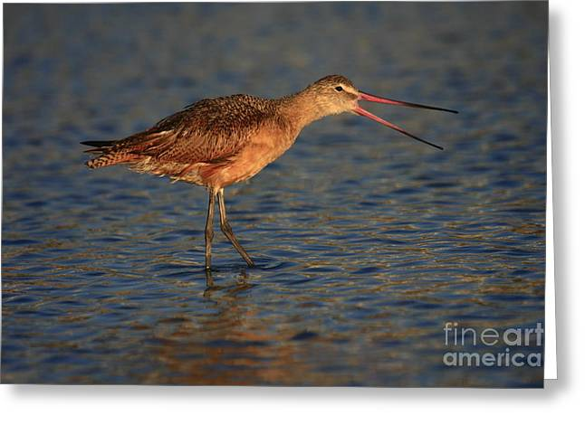 Marbled Godwit Call Greeting Card