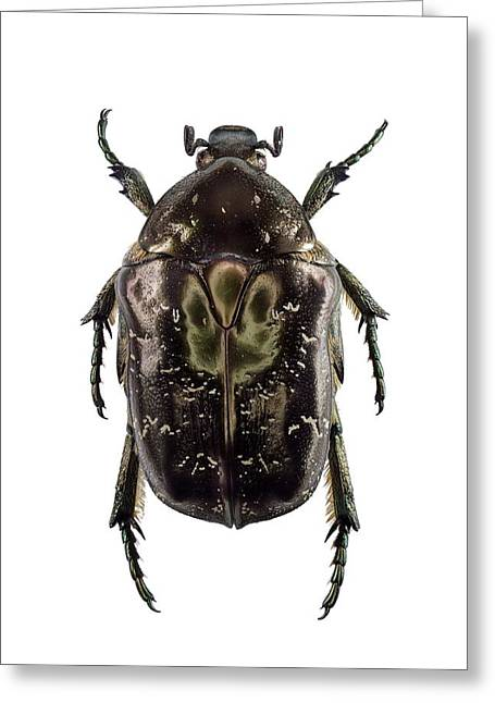 Marbled Rose-chafer Greeting Card by F. Martinez Clavel