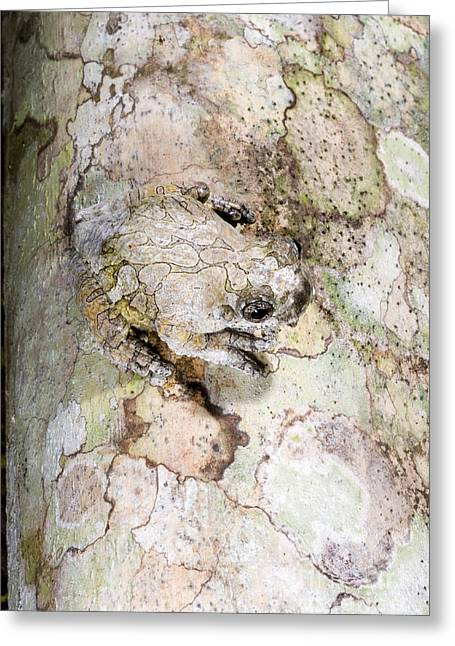 Marbled Tree Frog Greeting Card by Gregory G. Dimijian, M.D.