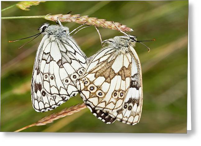 Marbled White Butterflies Mating Greeting Card by Bob Gibbons