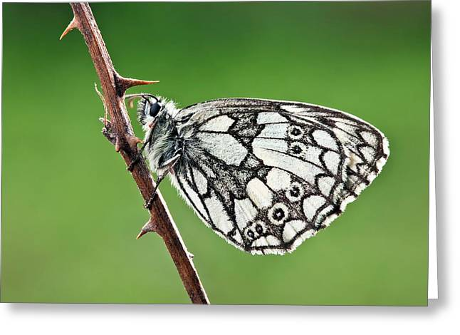 Marbled White Butterfly Greeting Card
