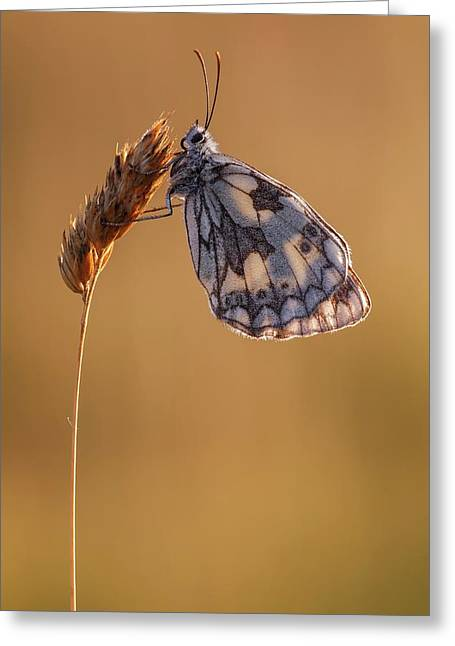 Marbled White Butterfly Greeting Card by Heath Mcdonald