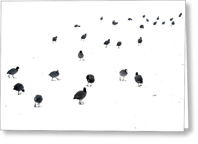 March Of The Coots Greeting Card