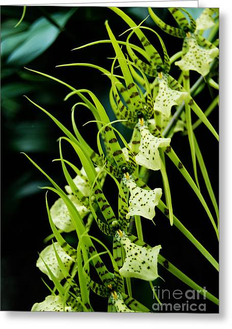 Greeting Card featuring the photograph Marching Orchids by Eva Kaufman