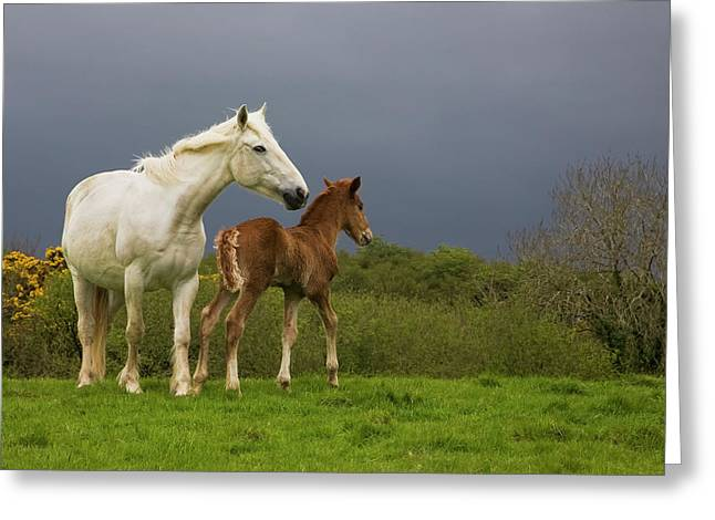 Mare And Foal, Co Derry, Ireland Greeting Card