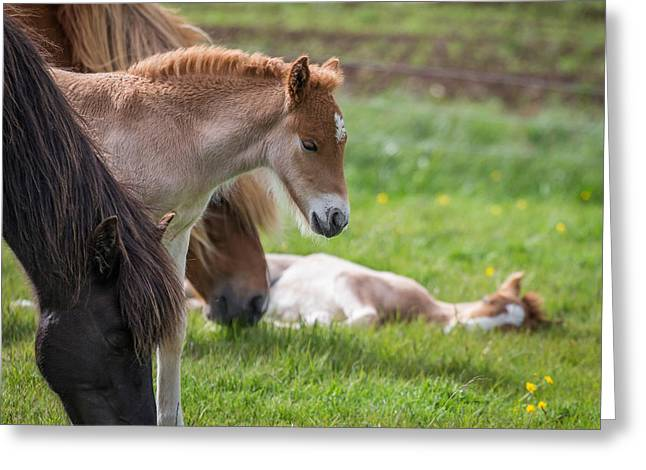 Mare And New Born Foal, Iceland Greeting Card