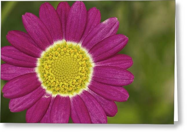 Marguerite Greeting Card
