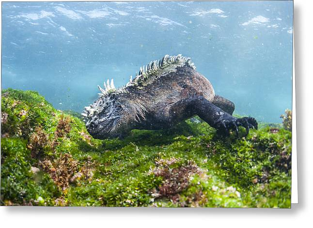 Marine Iguana Feeding On Algae Punta Greeting Card by Tui De Roy