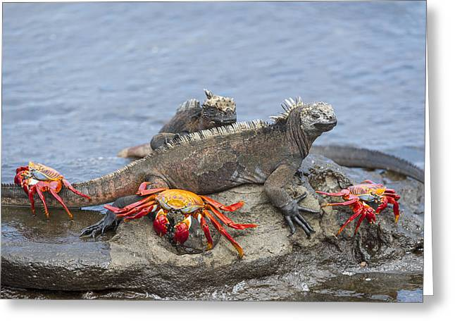 Marine Iguana Pair And Sally Lightfoot Greeting Card by Tui De Roy
