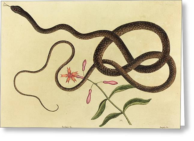 Mark Catesby English, 1679 - 1749, The Coach-whip Snake Greeting Card