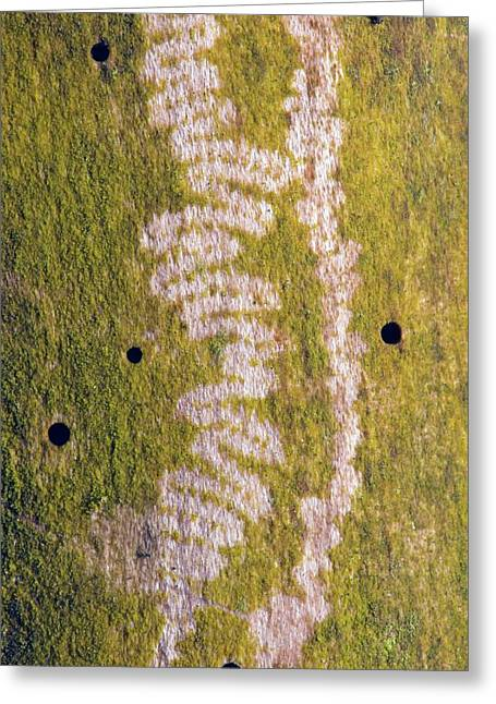 Marks Made By Snail Feeding On Algae Greeting Card