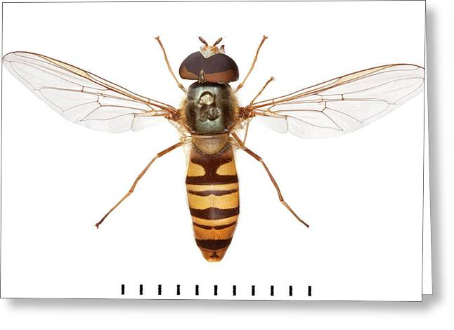 Marmalade Hoverfly Greeting Card by Natural History Museum, London
