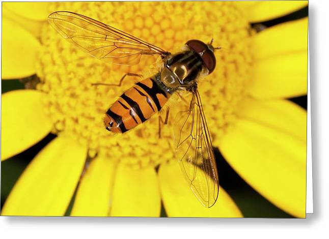 Marmalade Hoverfly On Corn Marigold Greeting Card by Bob Gibbons