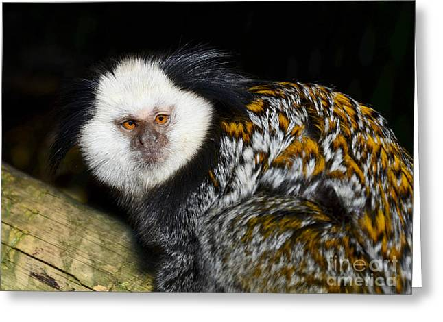 Marmoset Greeting Card by Steev Stamford