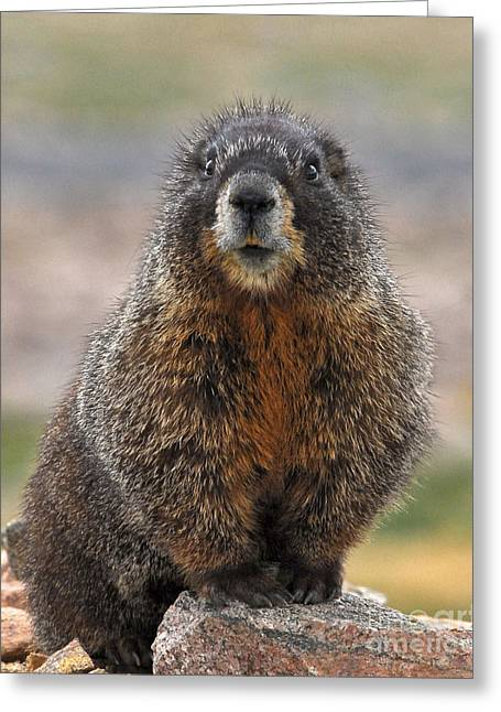Greeting Card featuring the photograph Marmot by Mae Wertz