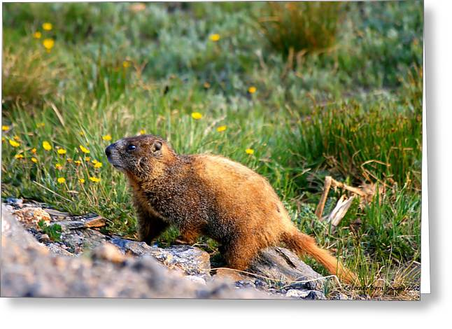 Marmot In Spring Greeting Card by Rebecca Adams