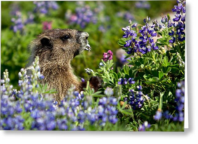 Greeting Card featuring the photograph Marmot Mount Rainier National Park by Bob Noble Photography