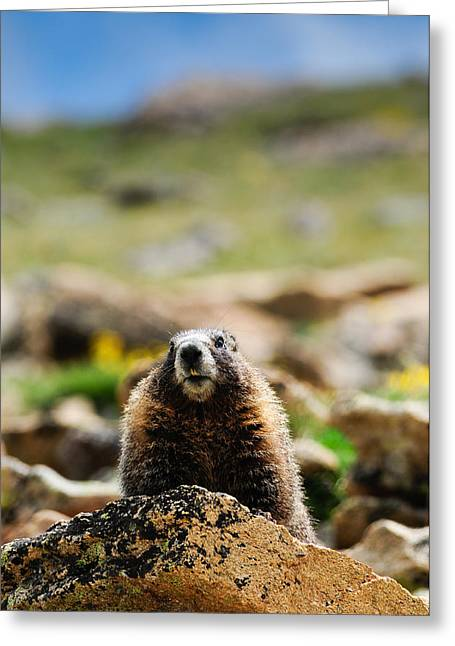 Marmot On A Rock Greeting Card