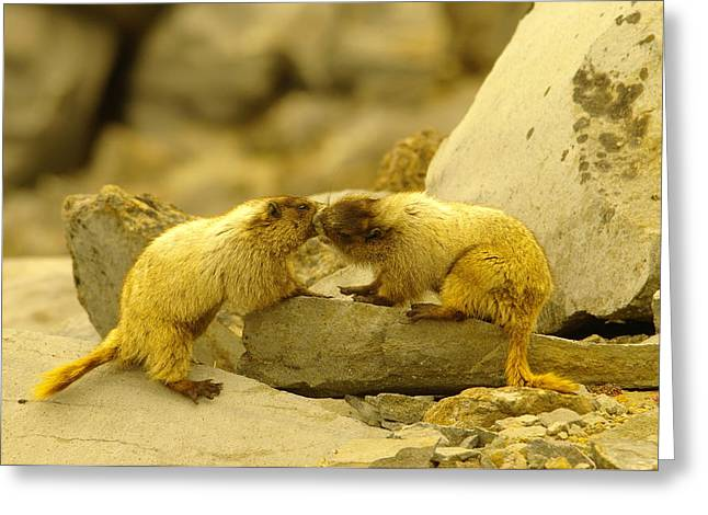 Marmots Kissing Greeting Card by Jeff Swan