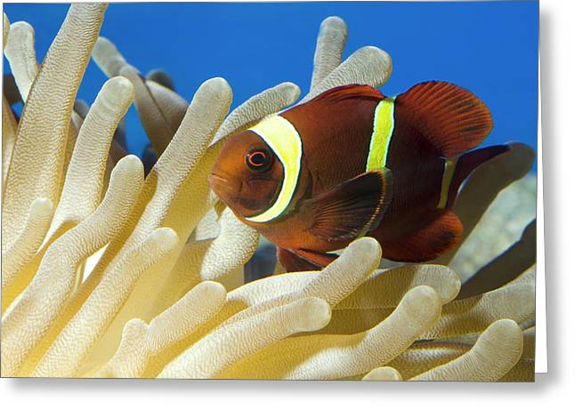 Maroon Clownfish Greeting Card by Nigel Downer