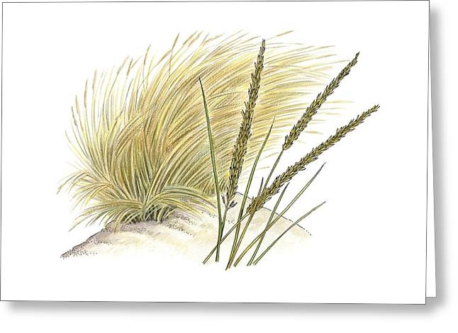 Marram Grass (ammophila Arenaria) Greeting Card