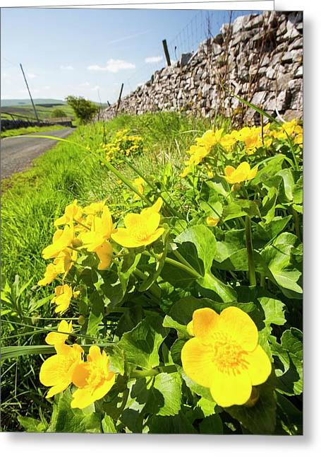 Marsh Marigold Or King Cups Greeting Card