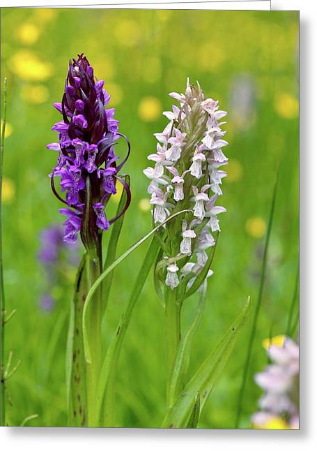 Marsh Orchid (dactylorhiza Incarnata) Greeting Card by Bob Gibbons