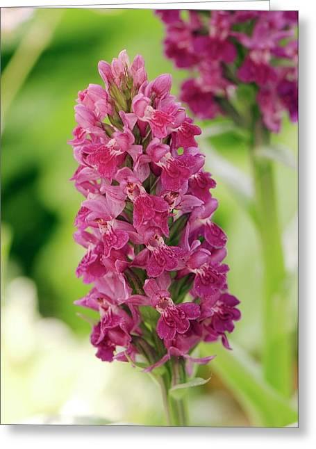 Marsh Orchid (dactylorhiza Majalis) Greeting Card