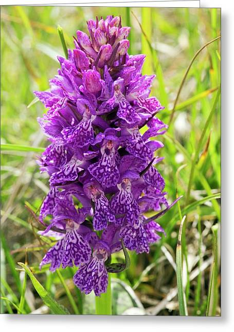 Marsh Orchid (dactylorhiza Osmanica) Greeting Card by Bob Gibbons