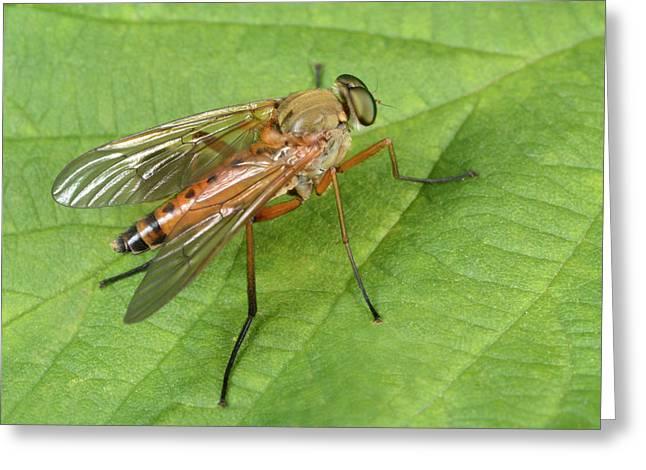 Marsh Snipe-fly Greeting Card by Nigel Downer