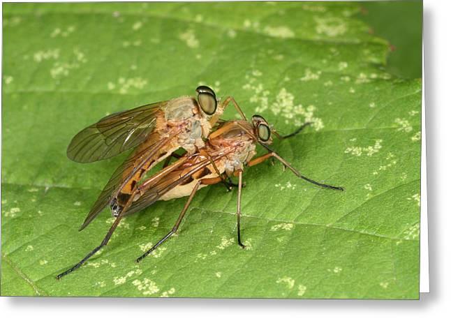 Marsh Snipeflies Greeting Card by Nigel Downer
