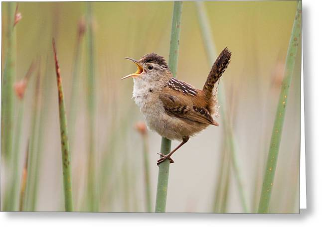 Marsh Wren Greeting Card