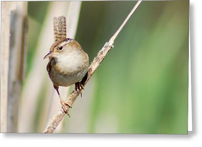 Greeting Card featuring the photograph Marsh Wren by Erin Kohlenberg