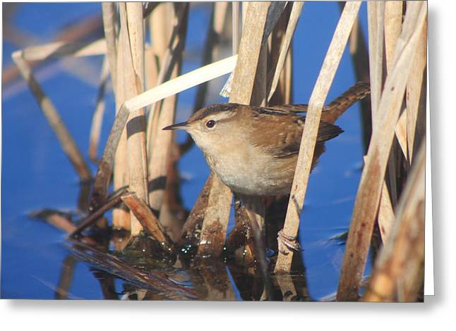 Marsh Wren Greeting Card by John Burk