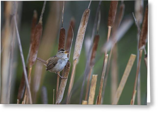 Marsh Wren Singing From A Cattail Greeting Card by John Shaw