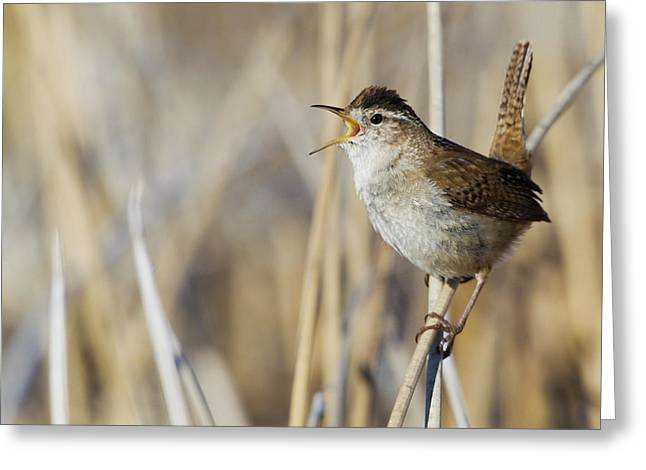 Marsh Wren Singing Greeting Card by Ken Archer
