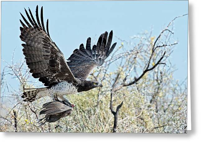 Martial Eagle In Flight With Prey Greeting Card