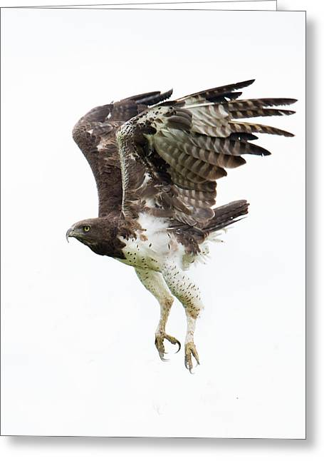 Martial Eagle Polemaetus Bellicosus Greeting Card