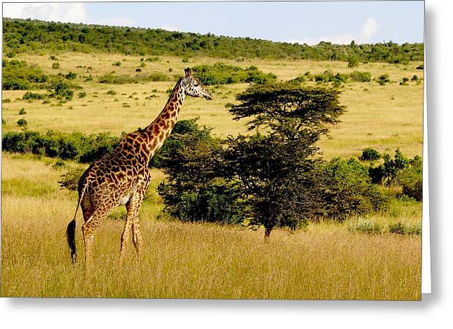 Masaai Giraffe Greeting Card