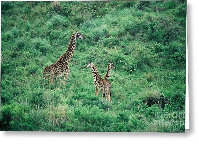 Masai Giraffe Adult And Two Young Greeting Card by Gregory G. Dimijian, M.D.
