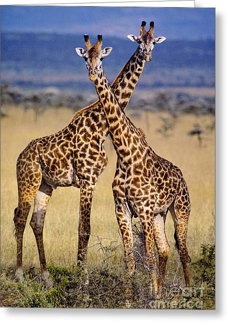 Masai Giraffes Greeting Card