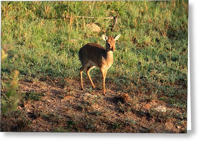 Masai Mara Dikdik Deer Greeting Card