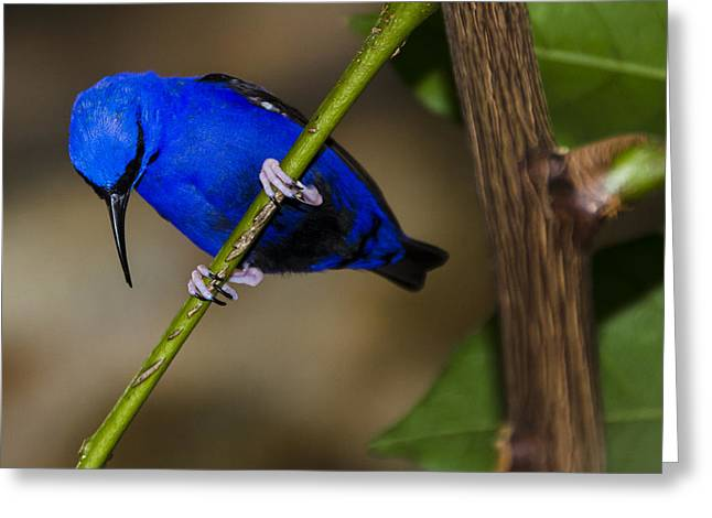 Masked Blue Bird Greeting Card by Penny Lisowski