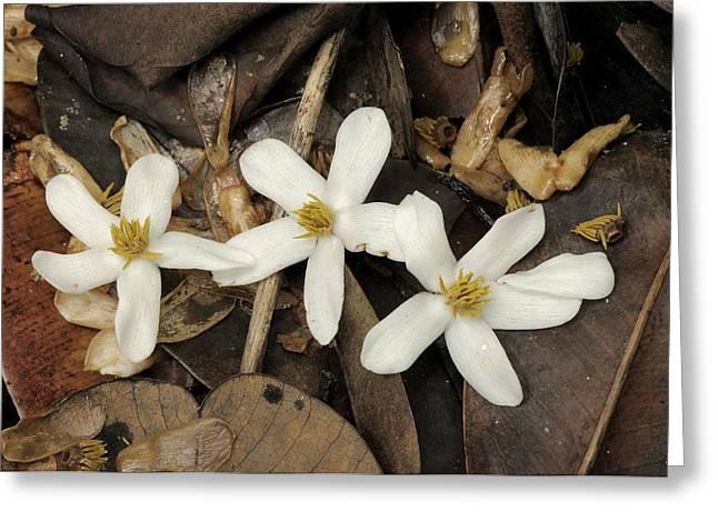Mass Flowering Of Dipterocarp Trees Greeting Card