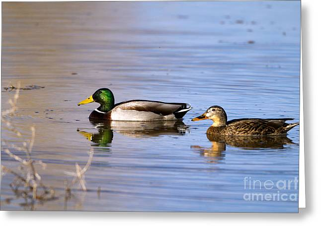 Mated Mallards Greeting Card