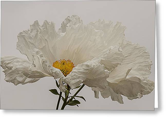 Matilija Poppy White On White Greeting Card